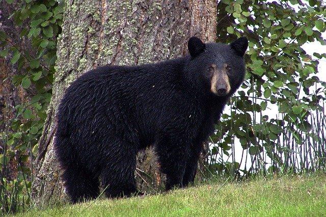 black bear symbolism