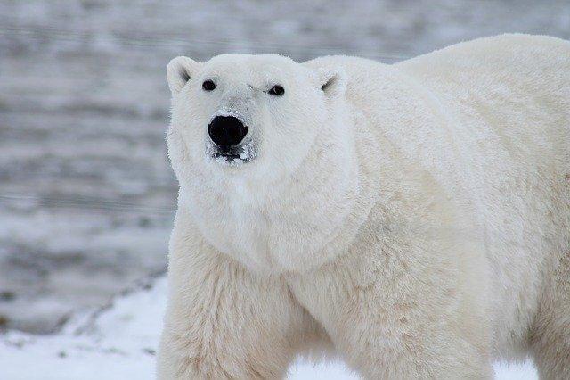 polar bear symbolism