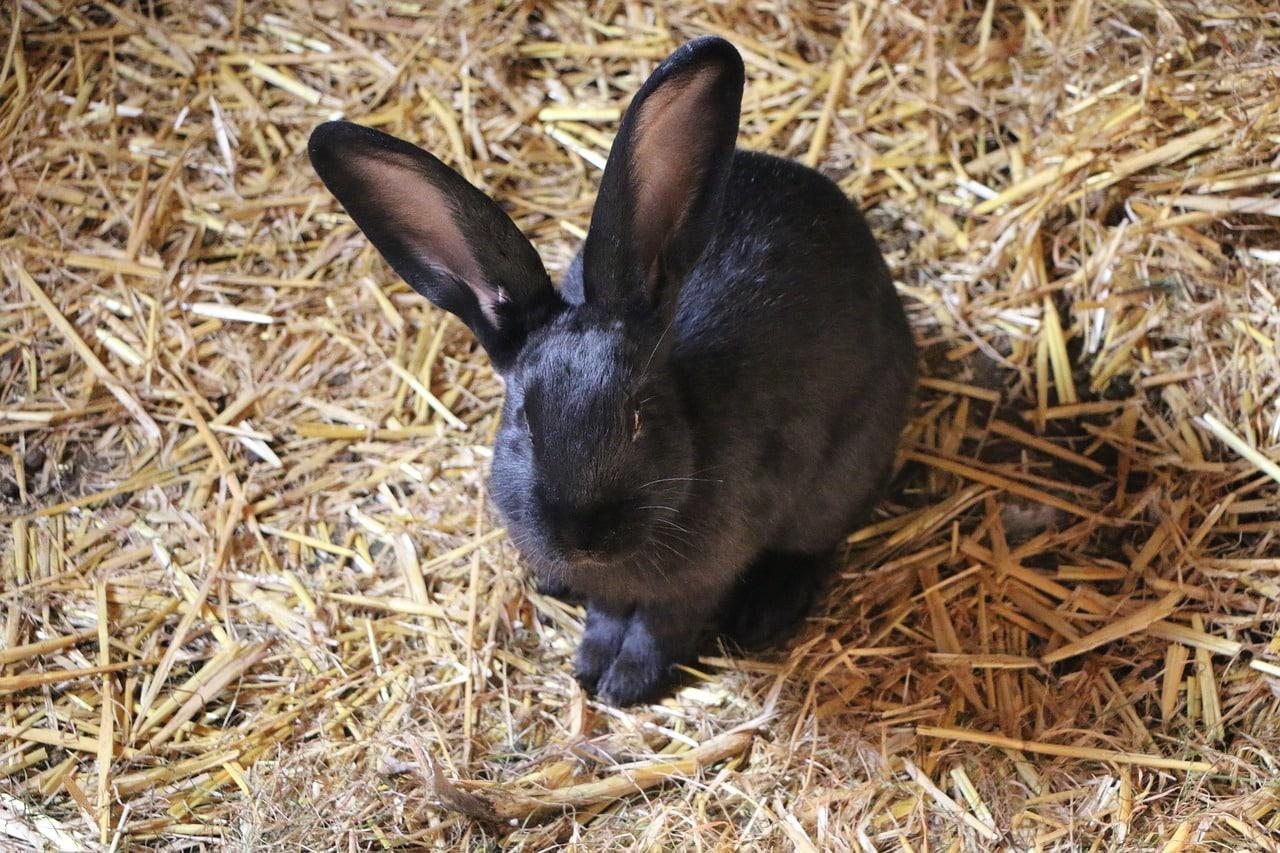 black rabbit symbolism