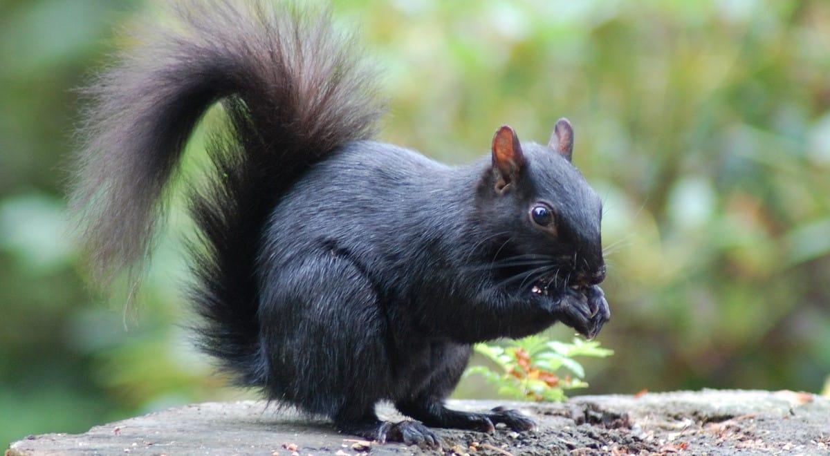black squirrel symbolism