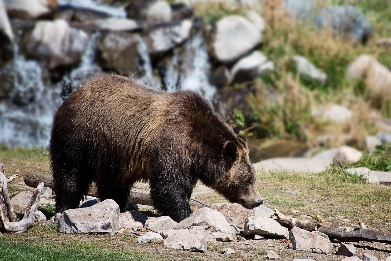 brown bear symbolism