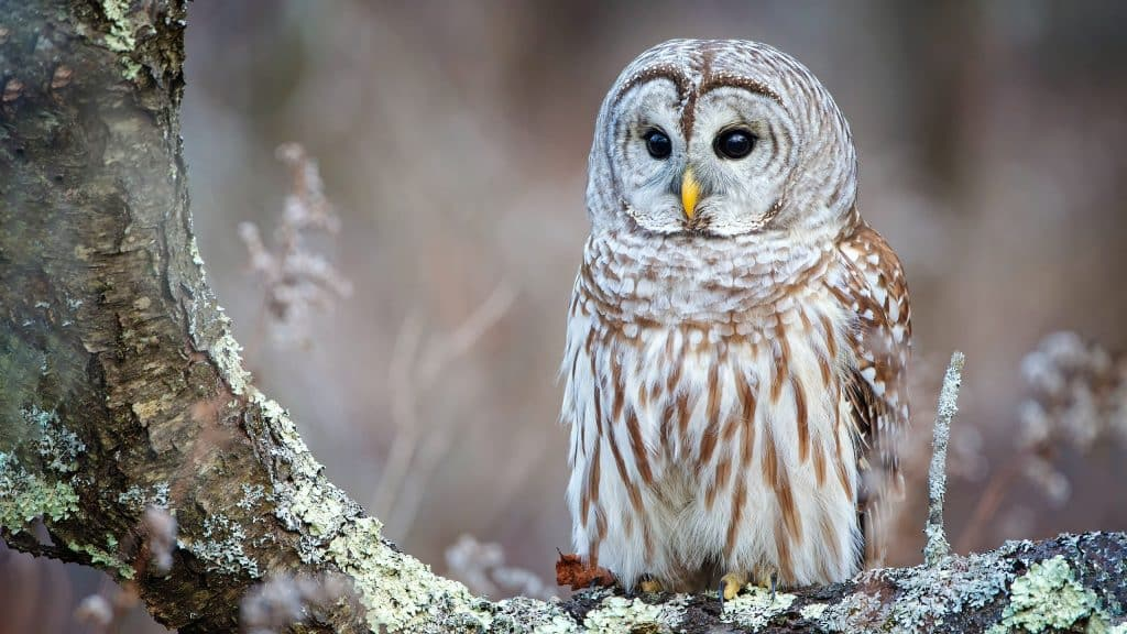 barred owl meaning and symbolism