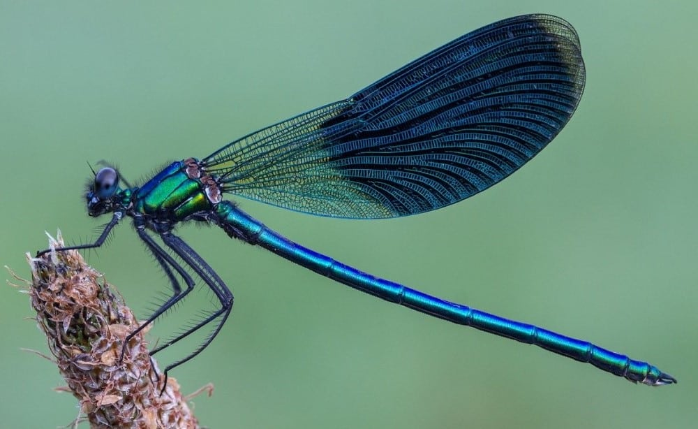 blue dragonfly meaning and symbolism